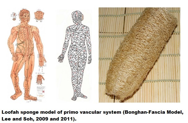 Loofah sponge model of primo vascular system (Bonghan-Fascia Model, Lee and Soh, 2009 and 2011).
