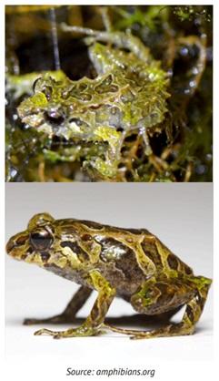 Mutable Rain Frog and the Sanjiao